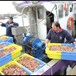 Coquilles Saint-Jacques:  1,2 million de naissains, semés en Baie de Quiberon