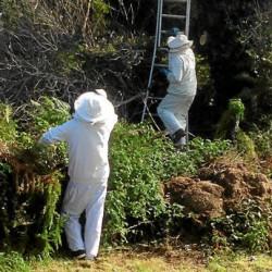 Des frelons asiatiques campent à Portivy