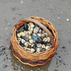 Baie de Quiberon. Fermeture de la pêche au coquillage