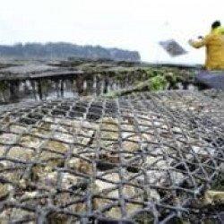 Morbihan : leurs huîtres contaminées, les ostréiculteurs demandent une enquête à l'État